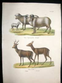 Schinz 1845 Antique Hand Col Print. Spanish Sheep etc 70